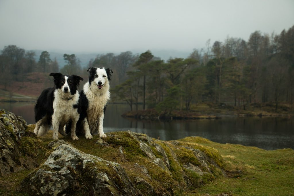 Lake District Dogs