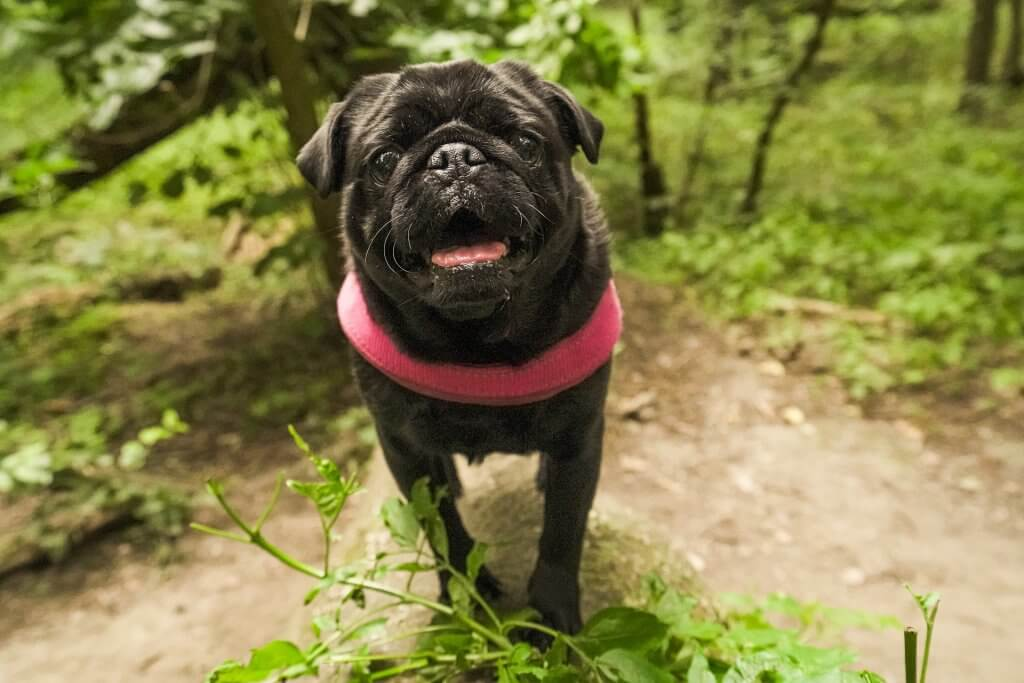 Pug In Forest