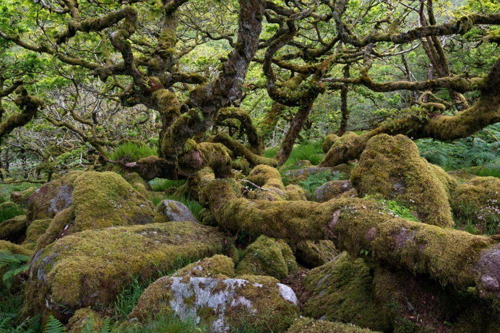 Wistman Wood in Devon